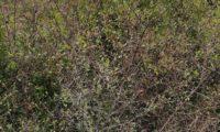 hábito do brunheiro-bravo, geralmente emarinhado – Prunus spinosa