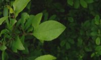 páginas superiores obovadas do abrunheiro-bravo – Prunus spinosa