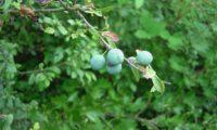 abrunhos em maturação do abrunheiro-bravo – Prunus spinosa