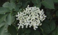 inflorescência corimbiforme de sabugueiro – Sambucus nigra