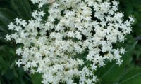 corimbo florido de sabugueiro – Sambucus nigra