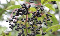 bagas maduras de sabugueiro – Sambucus nigra