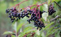 corimbo pendente, devido ao peso dos frutos maduros de sabugueiro – Sambucus nigra