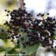 corimbo de frutos maduros de sabugueiro – Sambucus nigra