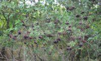 aspecto parcial da frutificação de sabugueiro – Sambucus nigra