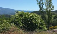 hábito isolado de sabugueiro em flor – Sambucus nigra