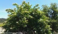 hábito florido de sabugueiro – Sambucus nigra