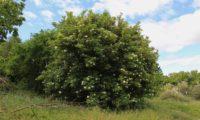 aspecto da copa redonda e densa hábito de sabugueiro – Sambucus nigra