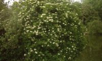 hábito do sabugueiro em flor – Sambucus nigra