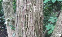ritidoma de sabugueiro adulto com sulcos longitudinais – Sambucus nigra