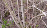 propagação vegetativa natural, em que um tronco caido ou abatido originous vários caules de sabugueiro - Sambucus nigra
