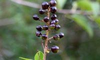 panícula de bagas em maturação, alfeneiro, alfenheiro, ligustro - Ligustrum vulgare
