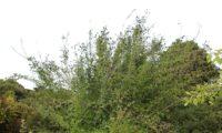 hábito irregular em frutificação de alfeneiro, alfenheiro, ligustro - Ligustrum vulgare