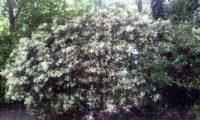 hábito florido de alfeneiro, alfenheiro, ligustro - Ligustrum vulgare