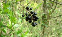 racemo de bagas maduras de alfeneiro, alfenheiro, ligustro - Ligustrum vulgare