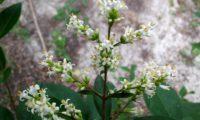 tirso de flores de alfeneiro, alfenheiro, ligustro - Ligustrum vulgare