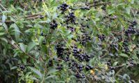 cachos de bagas maduras de alfeneiro, alfenheiro, ligustro - Ligustrum vulgare
