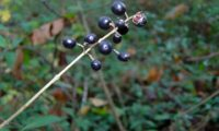 baga de alfeneiro, alfenheiro, ligustro, que revela duas sementes, depois de debicada - Ligustrum vulgare