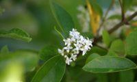 flores de alfeneiro, alfenheiro, ligustro - Ligustrum vulgare