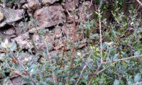 ramo esguio e vertical, depois da passagem do gado, zambujeiro - Olea europaea subsp. oleaster var. silvestris