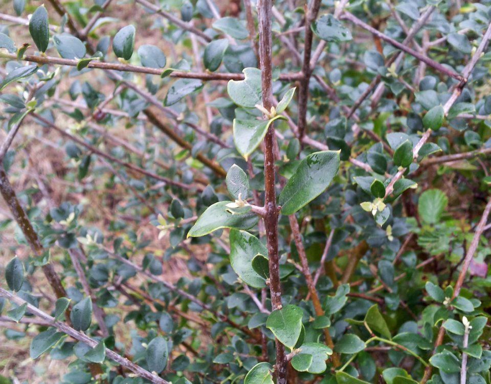 folhas pequenas e mucronadas de zambujeiro - Olea europaea subsp. oleaster var. silvestris