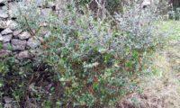 hábito de zambujeiro, depois do fogo e das dentadas do gado - Olea europaea subsp. oleaster var. silvestris