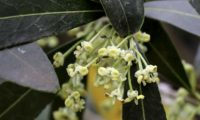 flores de zambujeiro - Olea europaea subsp. oleaster var