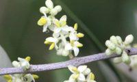 pormenor das flores de oliveira - Olea europaea subsp. europaea var. europaea