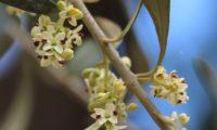 flores de oliveira em detalhe - Olea europaea subsp. europaea var. europaea