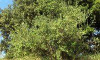 oliveira coberta de frutos imaturos - Olea europaea subsp. europaea var. europaea
