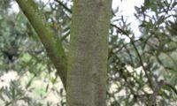aspecto do ritidoma de oliveira jovem - Olea europaea subsp. europaea var. europaea