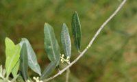 páginas superiores de oliveira - Olea europaea subsp. europaea var. europaea