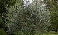 hábito de jovem oliveira livre poda - Olea europaea subsp. europaea var. europaea