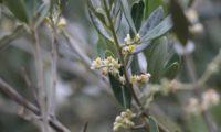 panículas axilares de oliveira - Olea europaea subsp. europaea var. europaea