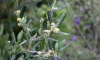 vista parcial da inflorescência de oliveira - Olea europaea subsp. europaea var. europaea