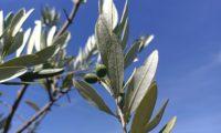 azeitonas verdes e folhas cinzento-esbranquiçadas e densamente escamulosas de oliveira - Olea europaea subsp. europaea var. europaea