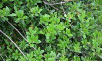 Phillyrea latifolia - Aderno (10)
