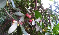 Phillyrea latifolia - Aderno (16)