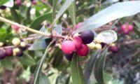 Phillyrea latifolia - Aderno (20)