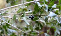 Phillyrea latifolia - Aderno (24)