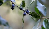 Phillyrea latifolia - Aderno (26)