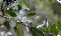 Phillyrea latifolia - Aderno (9.1)
