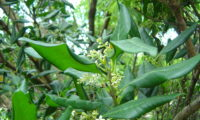 ramahete de flores e de folhas com as margens revolutas de pau‑branco, branqueiro - Picconia excelsa