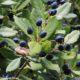 bagas maduras de pau‑branco, branqueiro - Picconia excelsa