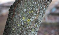 casca gretada de pau‑branco, branqueiro - Picconia excelsa