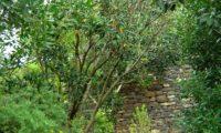 hábito de jovem pau‑branco ou branqueiro no Jardim botânico do Funchal - Picconia excelsa