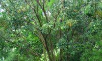hábito de jovem pau‑branco ou branqueiro - Picconia excelsa