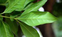 pau‑branco, branqueiro, nervura central saliente de página inferior - Picconia excelsa