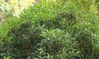 pau‑branco, branqueiro, aspecto parcial da folhagem - Picconia excelsa