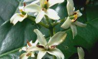 pormenor dos órgãos reprodutivos das flores de pau‑branco - Picconia excelsa